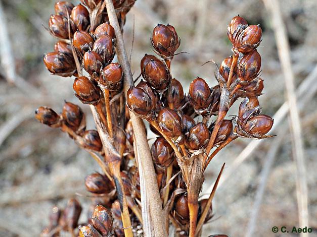 http://www.floraiberica.es/anthos_fotos/fotos_I-J-K/Juncus_acutus_CAEDO34_02_COL.jpg